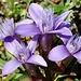 Alp Sigel: Ausser im Winter zu jeder Jahreszeit ein Blumenparadies.