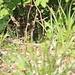 Maschione di ramarro in calore (si vede solo la testa)