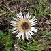 Carlina acaulis. Asteraceae.<br /><br />Carlina bianca.<br />Carlina sans tige.<br />Silberdistel.