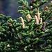 Weisstanne (Abies alba) mit harzigen Zapfen.