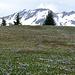 Krokusfeld bei den Sayser Chöpf (Cyprianspitz), dahinter Rothorn