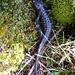 Pilatus Drachen (Salamandra atra)