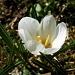 Crocus du printemps - Crocus albiflorus