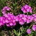 Primevère farineuse - Primula farinosa