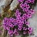 Saxifrage à feuilles opposées - Saxifraga oppositifolia