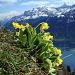 Primvère oreille-d'ours - Primula auricula