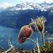 Pulsatille du printemps - Pulsatilla vernalis (?)