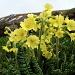 Primevère élevée - Primula elatior