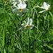 Weisse Berg-Narzisse (Narcissus radiiflorus)