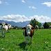 Abstieg zum Mont Chesau: neugierige Kühe