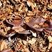 <b>Trovo dei funghi violacei che non conosco. Confrontandoli con quelli raffigurati su un libro di micologia, azzardo un nome: Russula vinosa (con riserva).</b>