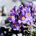 Alpenleinkraut (Linaria alpina)