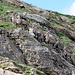 Steinböcke beim Chalchhorn