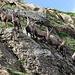 Neugierige Steinböcke beim Chalchhorn