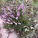 Calluna vulgaris. Ericaceae.<br /><br />Erica, Brugo, Brughiera.<br />Callune commune.<br />Besenheide.