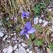 Gentiana campestris. Gentianaceae.<br /><br />Genziana campestre.<br />Gentiane champetre.<br />Feld-Enzian.