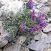 Linaria alpina. Plantaginaceae.<br /><br />Linaria alpina.<br />Linaire des Alpes.<br />Alpen-Leinkraut.