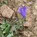 Campanula scheuchzeri. Campanulaceae.<br /><br />Campanula di Scheuchzer.<br />Campanule de Scheuchzer.<br />Scheuchzers Glockenblume.