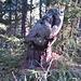 """Tag 6 > Ein Kunstwerk von """"Mutter Natur"""" im Wald bei Zernez. Vielleicht geht die Phantasie mit mir durch, aber ich erkenne dort ein Wildschwein, das nach oben schaut ;-)"""