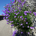 Am Aufstieg nach Chardonne: Scheuchzers Glockenblume (Campanula scheuchzeri)