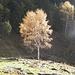 Betulla d'autunno