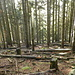 """Il bosco di conifere sfoltito dalla mano dell'uomo dà un assaggio di come apparirà la foresta sottostante, """"sfoltita"""" dalla forza della natura"""