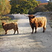 Schottische Hochlandrinder auf dem Fahrweg zwischen dem Fährhafen Feolin und den Paps of Jura