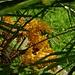 Blütenstand der Hanfpalme (Trachycarpus fortunei)