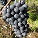 Il est beau le raisin (Pinot Noir?)
