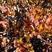 reich an warmen Farbtönen, die Heidelbeerstauden