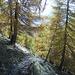 Der Weg führt durch den Lärchenwald
