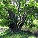 Baum bei der Cima dei Torrioni