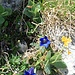 letzte alpine Blumenpracht