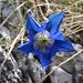 Enzian..einfach eine schöne Blume!