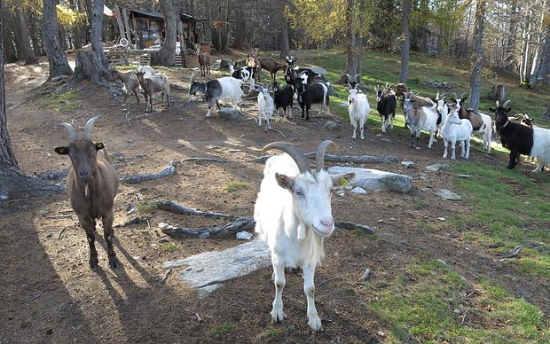 ...die sind ganz brav und unaufdringlich, aber wenn's mit Ziegen Probleme gibt, ist DAS der Ansprechpartner - und sein Vize.