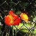 "In Chiggiogna hat es viele Rosen.....  ""♫♪♫♩...Mon Amie La Rose...♫♬♪♫ [http://www.youtube.com/watch?v=KeP-bJFg1bQ] ________  ♫♬♩ Für mich, soll's rote Rosen regnen ♬♫♬ [https://www.youtube.com/watch?v=z_K_w1Yb5Yk] ____"