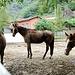 <br />Die Pferde von Chiggiogna fragen sich zwar, was ich eigentlich von ihnen will.