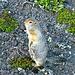 vorwitziges Hörnchen beobachtet mich beim Zeltaufbau, voller Hoffnung auf Futter, <br />am Fusse des Vulkanes Awatschinskij<br /><br />