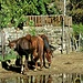<br />Wer hätte das gedacht - es hat noch mehr Pferde in Chiggiogna...!!!<br /><br /><br />