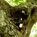 Löcheriger Buchenast - trotzdem grüne Blätter
