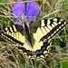 Wunderschöner Schmetterling: Schwalbenschwanz