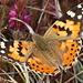 Heute zu hunderten gesehen: Schmetterling