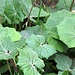 <b>Farfaraccio (Petasites sp.).</b>