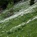 Ganze Hänge von weissen Bergnarzissen (Narcissus radiiflorus)
