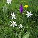 Weisse Bergnarzisse (Narcissus radiiflorus) in Gesellschaft mit männlichem Knabenkraut (Orchis mascula)