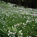 Weisse Bergnarzisse (Narcissus radiiflorus)