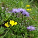 Nackstängelige Kugelblume (Globularia nudicaulis)