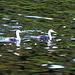 Zwei Haubentaucher im See