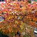 Ahorn im Herbstkleid
