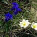 Clusius-Enzian (Gentiana clusii) mit Alpen-Hahnenfuss (Ranunculus alpestris)